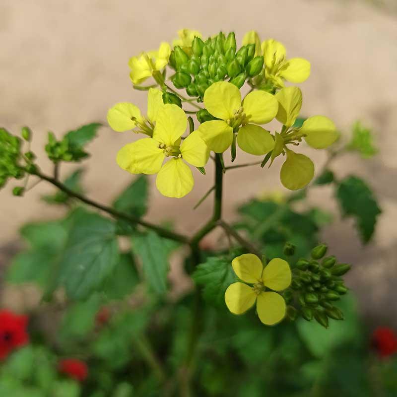 חַרְדָל הַבָּר   מגדיר הצמחים של goNature