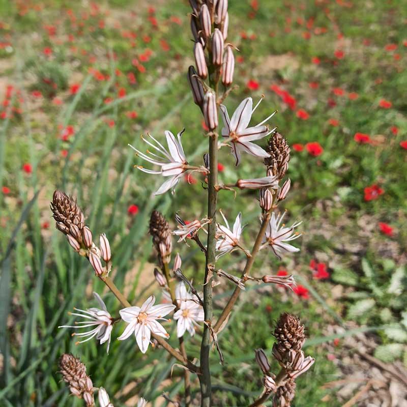 עִירִית גְּדוֹלָה   מגדיר הצמחים של GoNature