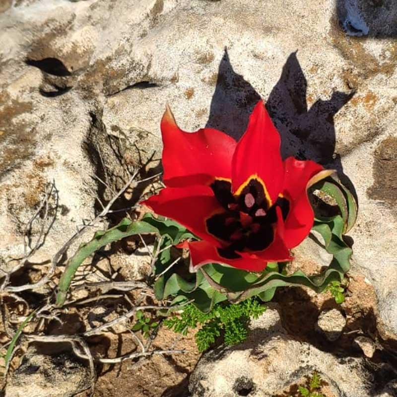 צִבְעוֹנִי הֶהָרִים   מגדיר הצמחים של GoNature