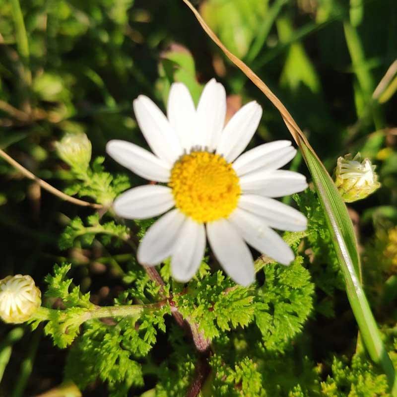 קַחְוָן מָצוּי   מגדיר הצמחים של GoNature